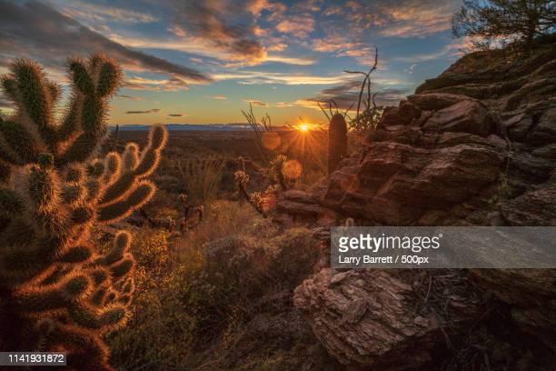 cholla sonoran - desierto sonorano fotografías e imágenes de stock