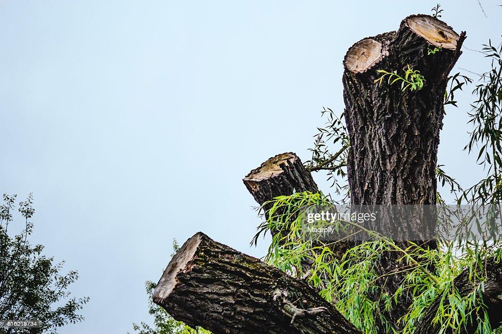 Chopped tree : Stock Photo