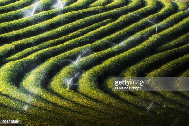 choui fong tea plantation, mae chan, chiang rai, thailand. - sprinkler system stock pictures, royalty-free photos & images