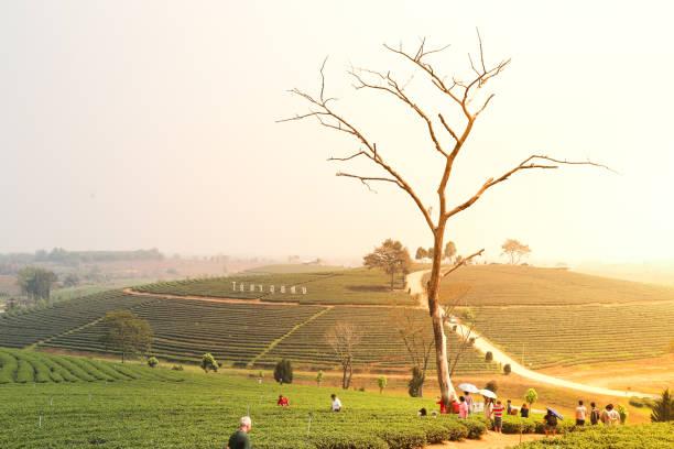 Choui Fong Tea Plantations