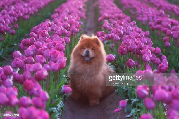 chow chow among tulips - chow dog stock pictures, royalty-free photos & images