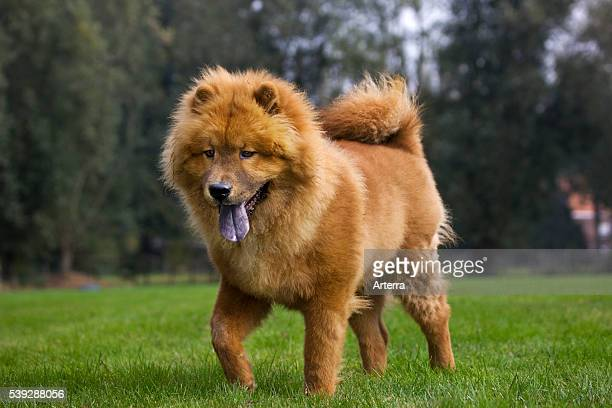 Chow Chow dog in garden.