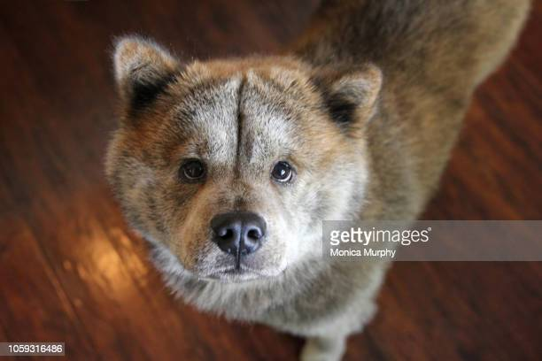 chow chow dog looks at camera - san jose california stock pictures, royalty-free photos & images