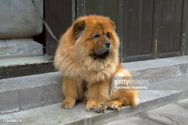 chow chow dog on the streets of huangshan, china - chow stock pictures, royalty-free photos & images