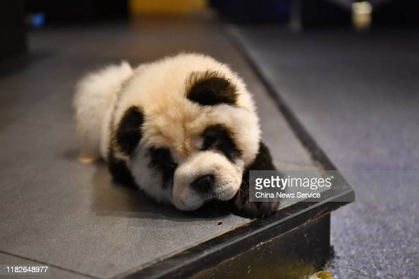 Chow chow dog painted as giant panda is seen at a pet cafe on October 22, 2019 in Zhang Lang/China News Service/VCG via Getty Images)