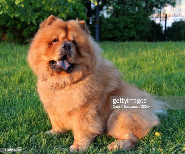 chow chow dog sitting on lawn - chow dog stock pictures, royalty-free photos & images