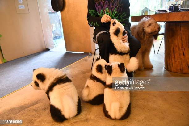 Chow chow dogs painted as giant panda are seen at a pet cafe on October 22, 2019 in Zhang Lang/China News Service/VCG via Getty Images)