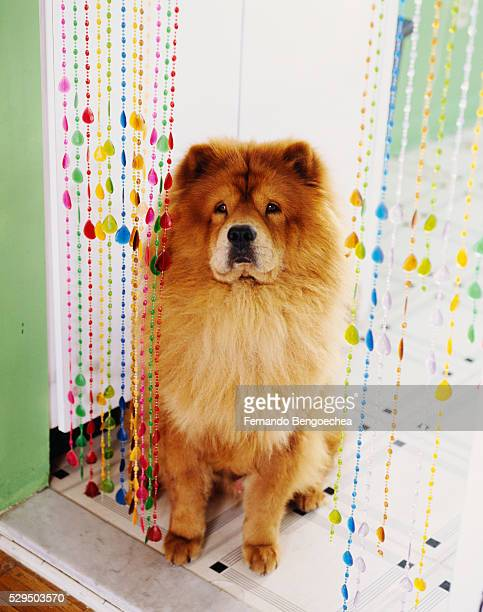 chow chow in kitchen doorway - chow stock pictures, royalty-free photos & images