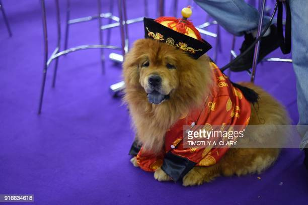 A Chow Chow is seen during the 9th AKC Meet The Breeds on February 10 2018 in New York at the 142th Annual Westminster Kennel Club Dog Show / AFP...