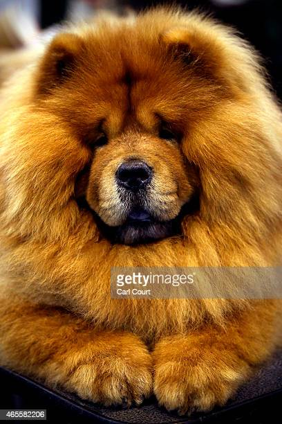 Chow Chow is seen on the fourth and final day of Crufts dog show at the National Exhibition Centre on March 8, 2015 in Birmingham, England. First...