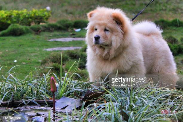 chow chow - chow stock pictures, royalty-free photos & images