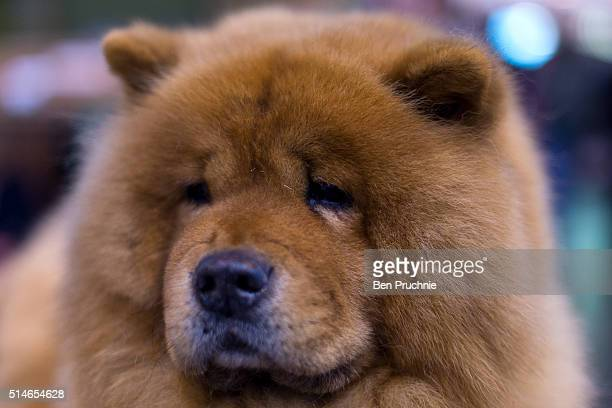 A chow chow poses for a photograph on the first day of Crufts Dog Show on March 10 2016 in Birmingham England First held in 1891 Crufts is said to be...