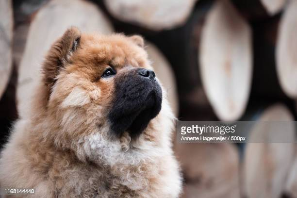 chow chow puppy - chow stock pictures, royalty-free photos & images