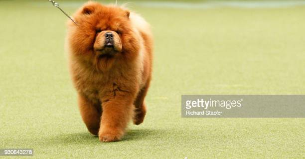 Chow Chow shows on day three of the Cruft's dog show at the NEC Arena on March 10, 2018 in Birmingham, England. The annual four-day event sees around...