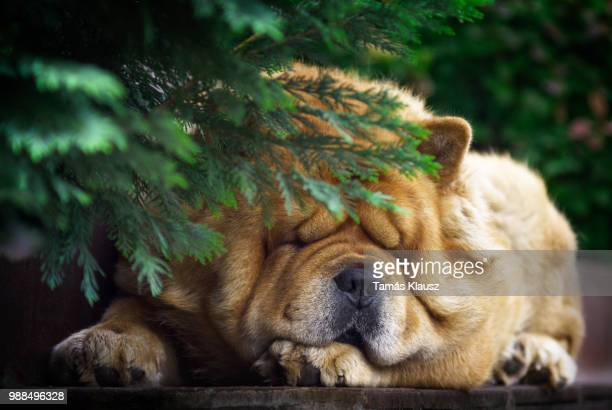 chow chow sleeping on step - chow dog stock pictures, royalty-free photos & images