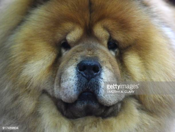 Chow Chow waits in the benching area during Day One of competition at the Westminster Kennel Club 142nd Annual Dog Show in New York on February 12,...