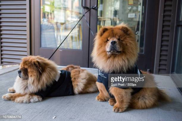 Chow Chows in Seattle