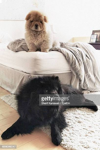 Chow Chows Relaxing In Bedroom