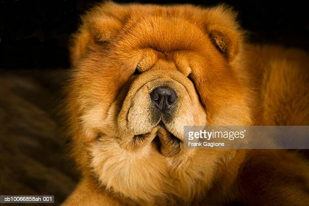 60 Top Chow Chow Pictures, Photos and Images - Getty Images