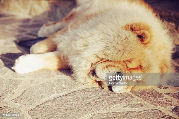 chow dog asleep in the late sunshine - rekha garton stock pictures, royalty-free photos & images