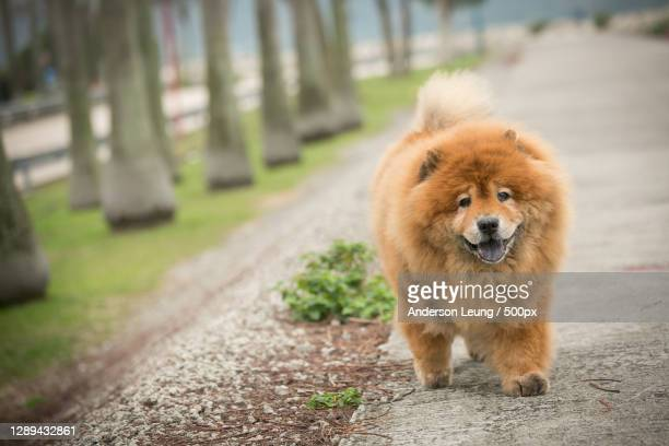 chow dog walking on footpath,hong kong - chow dog stock pictures, royalty-free photos & images