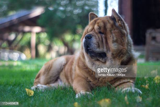 chow-chow portrait - chow stock pictures, royalty-free photos & images