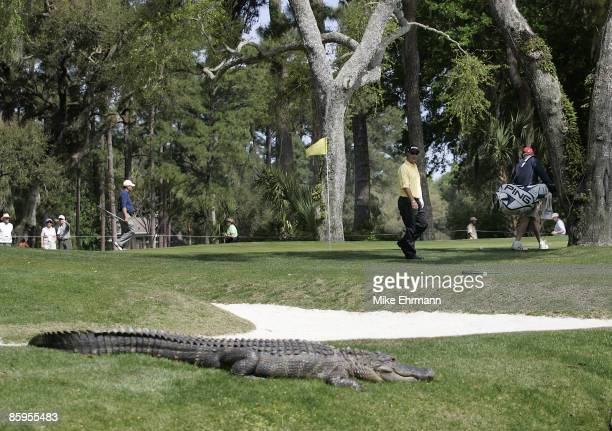 Chris DiMarco walks carefully around the green as an alligator bathes in the sun during the ProAm tournament at the Verizon Heritage Classic being...