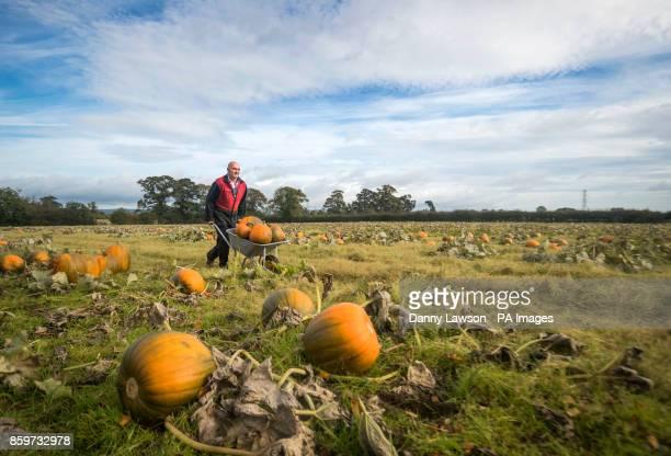 Chris Hoggard harvests pumpkins at Howe Bridge Farm in Yorkshire ahead of Halloween