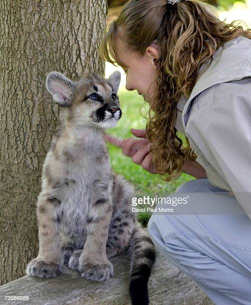 Chris Llewellyn supervisor of wildlife plays with one of three 11 month old cougar cubs at Six Flags Discovery Kingdom on April 26 2007 in Vallejo...