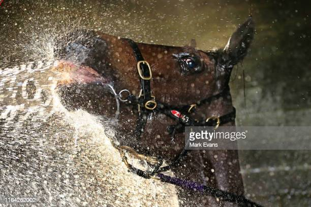 Chris Waller horse Unforgotten is hosed down after heat 1 during Warwick Farm barrier trials on July 26, 2019 in Sydney, Australia.