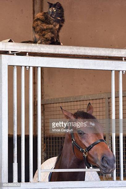 Chris Waller trained Amovatio resting in his box with the stable cat keeping him comapany after a trackwork session at Flemington Racecourse on...