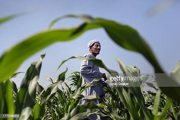 Christian farmers work in the fields near Minya, Egypt on June 13, 2013.