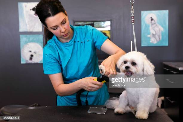 Christie Henriksen master groomer grooming Keeper a Bichon Frise/Shih tzu Mix owned by Pauletta Kruger at her salon Uptown Pups June 20 2018 in...