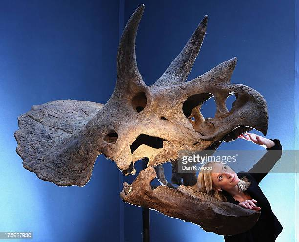 Christie's employee poses next to a Triceratops skull at Christie's Auction House on August 5 2013 in London England The skull which was excavated in...