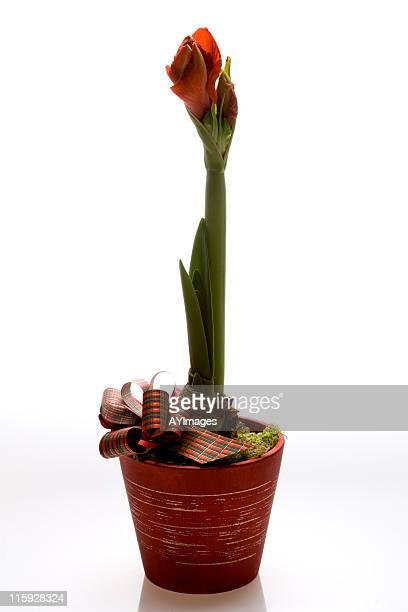 christmas amaryllis - amaryllis stock pictures, royalty-free photos & images