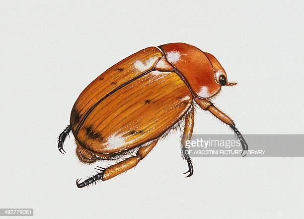 Christmas beetle Scarabaeidae Artwork by Rebecca Hardy