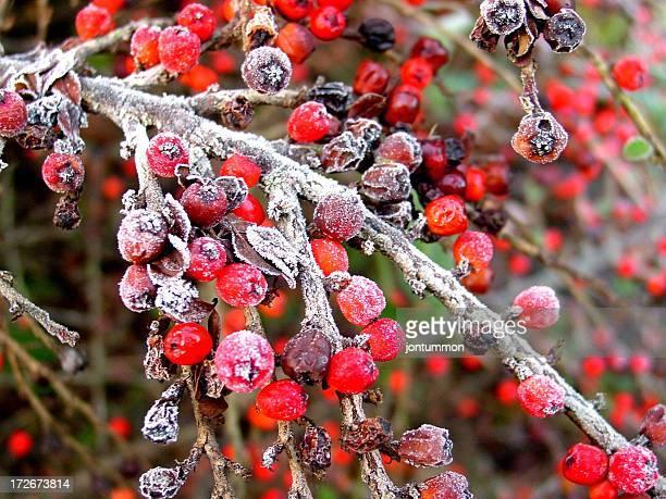 Weihnachten Beeren (Rot