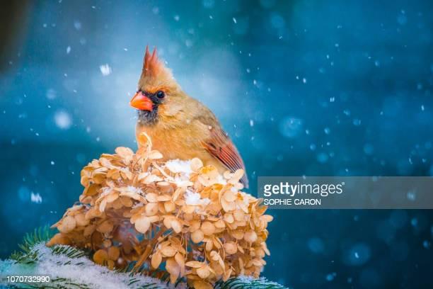 christmas bird, female cardinal, hydrangea - female animal stock pictures, royalty-free photos & images