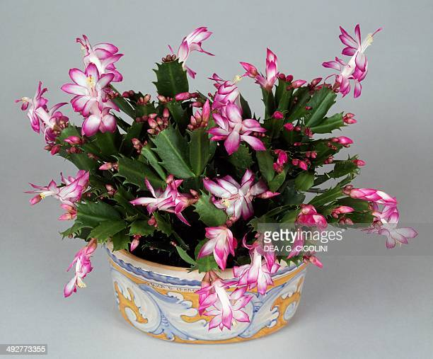 Christmas cactus Cactaceae