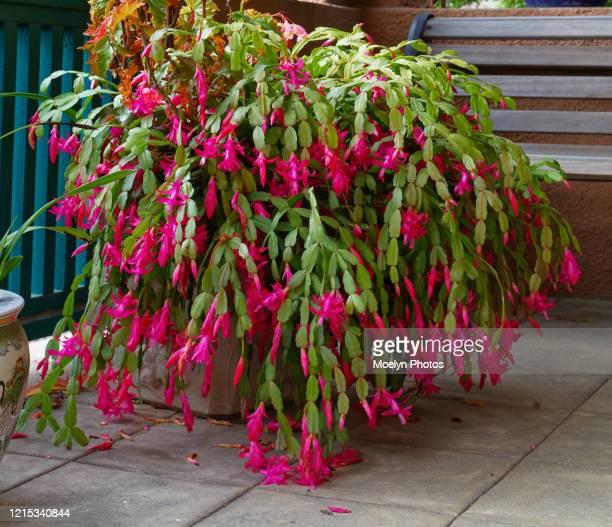 christmas cactus galore - シャコバサボテン ストックフォトと画像