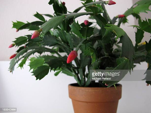 Christmas cactus plant (Schlumbergera)