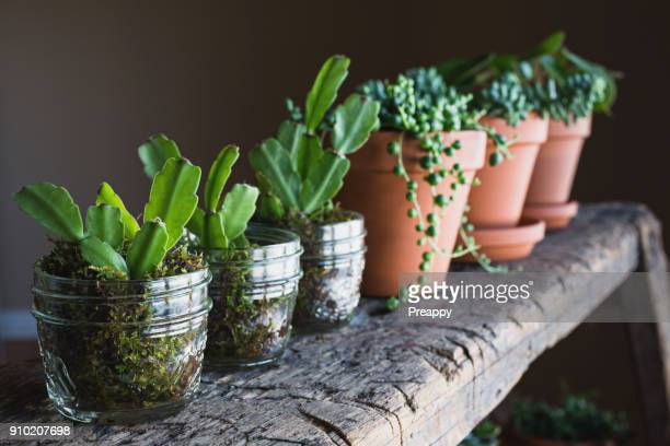 christmas cactus propagation - christmas cactus stock photos and pictures