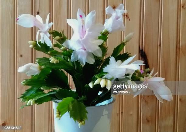 christmas cactus, thanksgiving cactus - christmas cactus stock photos and pictures
