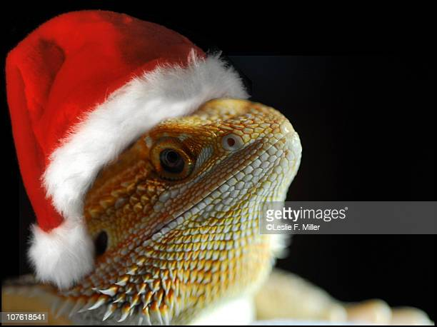 christmas creature - bearded dragon stock pictures, royalty-free photos & images