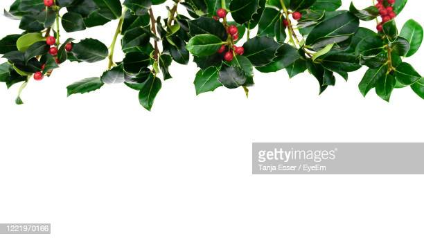christmas decoration by branches and berries of holly ilex. isolated in front of white background -  キリスト教 伝来の地  ストックフォトと画像