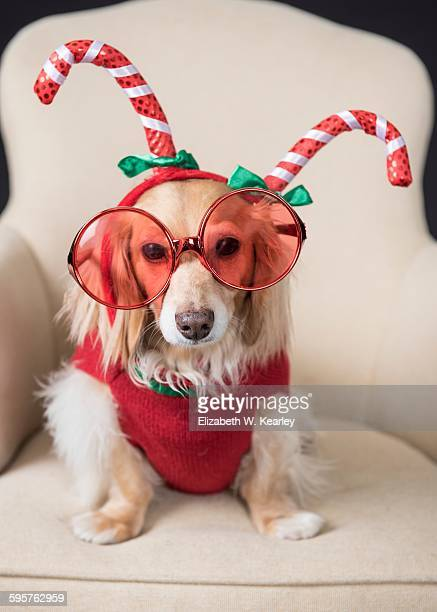 christmas decorations - dachshund christmas stock pictures, royalty-free photos & images