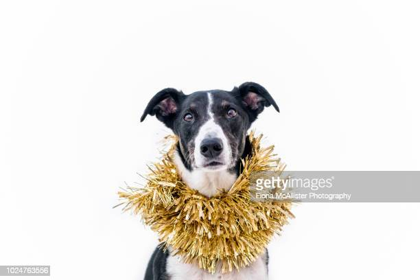 christmas dog in tinsel funny humour - tinsel stock pictures, royalty-free photos & images