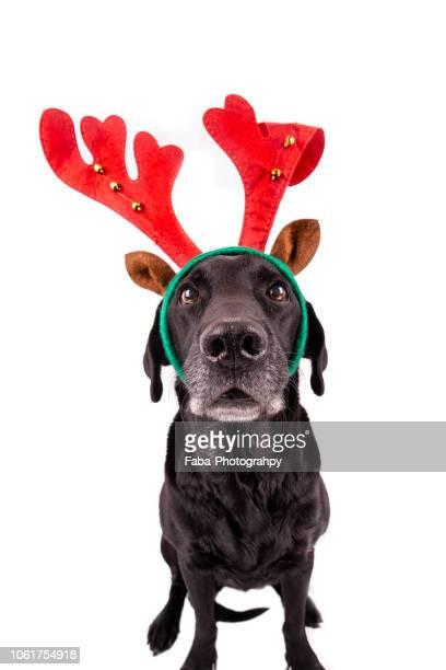 christmas dog - galhada - fotografias e filmes do acervo