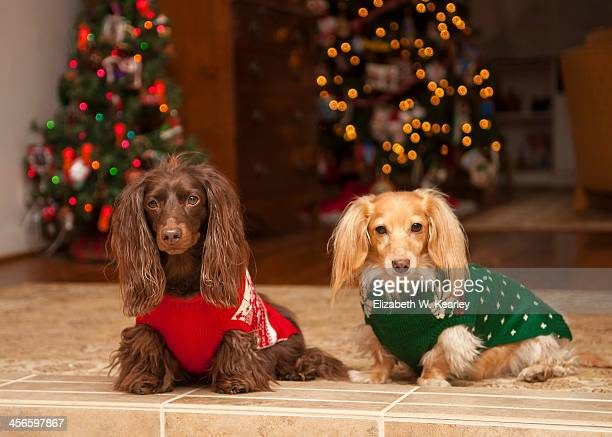 christmas dogs - long haired dachshund stock photos and pictures