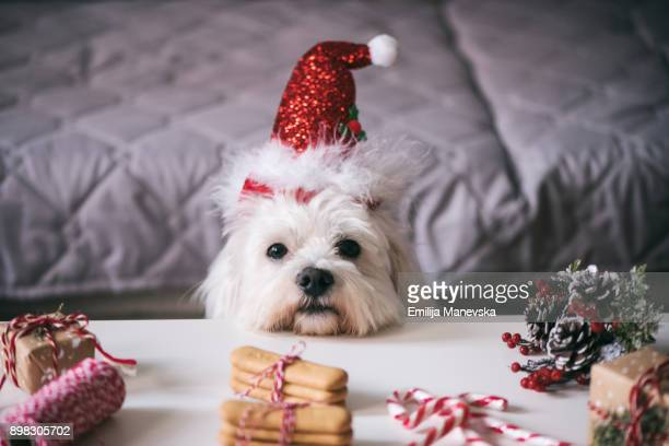 christmas for pets - christmas dog stock pictures, royalty-free photos & images